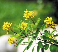 Kim đồng vàng,cây kim đồng vàng,kim dong vang,cây kim đồng,kim đồng,Galphimia gracilis Bartl,họ Sơ ri,Malpighiaceae,Kim đồng vàng