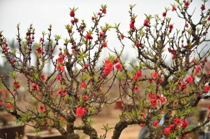 Đào thất thốn,dao that thon,cây đào thất thốn,cay dao that thon,hoa đào thất thốn,hoa đào,cây đào,hoa ngày tết,đào ngày tết,Đào Thất Thốn