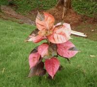 Cây tai tượng đỏ,cay tai tuong do,cây tai tượng,cay tai tuong,tai tượng đỏ,tai tuong do,cây thuốc nam,Acalypha wilkesiana,Cây tai tượng đỏ