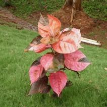 Cây tai tượng đỏ