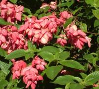 Cây bướm hồng,cay buom hong,bướm hồng phi,bướm hồng,buom hong,én hồng,ngọc diệp hoa,bứa chừa,Mussaenda erythrophylla,Rubiaceae,họ cà phê,Cây bướm hồng