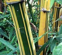 cây tre vàng sọc,cay tre vang soc,cây tre vàng,tre vàng sọc,cây tre,cây cảnh,cây ngoại thất,Bambusa vulgaris Schrader ex Wendl,Cây tre vàng sọc