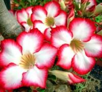 Hoa sứ thái lan,sứ thái lan,hoa su thai lan,su thai,hoa sứ,hoa hồng sa mạc,sứ đại,sứ đại hoa đỏ,Adenium obesum,Apocyanaceae,cách ươm sứ thái lan,để sứ Thái ra hoa vào dịp tết,Cây hoa sứ Thái Lan