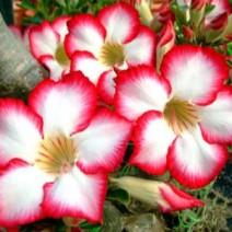 Cây hoa sứ Thái Lan
