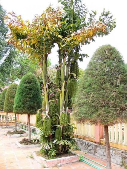 Cây đủng đỉnh,cay đùng đình,cay dung dinh,đùng đình,cây móc,Caryota mitis,họ cau,Arecaceae,Cây đủng đỉnh