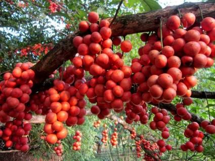 Dâu da,dau da,du da,giau gia,giu gia,dâu da đất,dau da dat,bòn bon,dâu da xoan,dau da xoan,Baccaurea,Baccaurea sapida,Euphobiaceae,châm châu,dâm bôi, hồng bì dại,Rutaceae,Spondias lakonensis,Allospondias lakonensis,Anacardiaceae,Cây dâu da