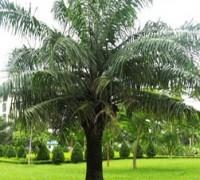 Cây cọ dầu,cay co dau,cây cọ,cay co,cọ dầu,cây ngoại thất,cây công trình,Elaeis,Arecaceae,Elaeis guineensis,Cọ dầu