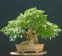 Cây tầm bì lùn,tầm bì lùn,cây tầm bi,cay tam bi,cay tam bi lun,tam bi lun,cây bonsai,Fraxinus Ornus,Cây tầm bì lùn