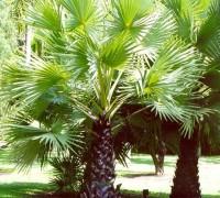 Cây thốt nốt,cây thốt lốt,cay thot not,cay thot lot,thot not,thot lot,Borassus flabellifer,Borassus,cây ngoại thất,cây ăn quả,miền Tây Nam Bộ,Cây Thốt nốt