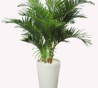 Cau Nhật,cây cau Nhật,cau nhat,cay cau nhat,cây cau,cay cau,cây phong thủy,cây nội thất,cây làm sạch không khí,Cây Cau Nhật