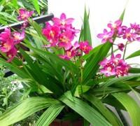 Hoa chu đinh lan,hoa chu dinh lan,chu dinh lan,Spathoglottis plicata,cây hoa,hoa lan,Hoa Chu Đinh Lan