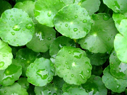 Rau má,cây rau má,rau ma,tích tuyết thảo,lôi công thảo,rau má nước,rau má Nhật Bản,Centella asiatica,Hydrocotyle leucocephala,Hydrocotyle Sp. Japan,cây thủy sinh,cây thuốc,cây y học,Rau má