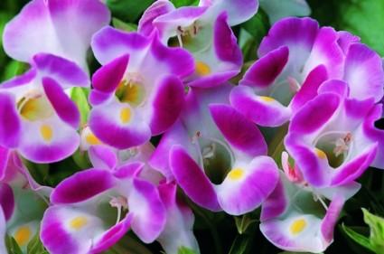 hoa tô liên,hoa to lien,tô liên,to lien,hoa mõm chó,hoa hàm chó,hoa mõm sói,hoa mắt nai,Torenia Fournierii Lindt,Scrophulariaceae,Hoa Tô Liên