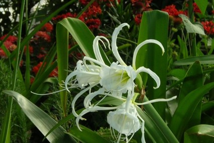 Bạch trinh biển,cây bạch trinh biển,bach trinh bien,cay bach trinh bien,cây trinh biển,cay trinh bien,cây hoa,cây ngoại thất,Hymenocallis americana Roem,Bạch trinh biển