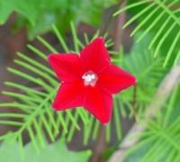 hoa tóc tiên,hoa sao,dây tóc tiên,dây hoa tóc tiên,day hoa toc tien,hoa toc tien,tóc tiên,toc tien,Ipomoea quamoclit,Morning Glory,cây hoa,Hoa tóc tiên