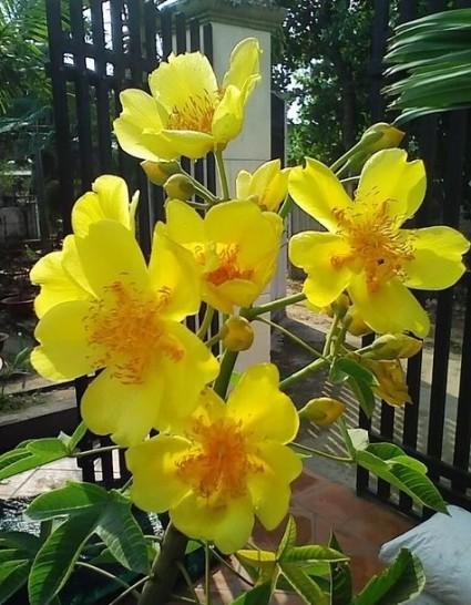 mai hoa đăng,huỳnh hoa đăng,mai hà lan,Cochlopermaceae,cây hoa,Mai Hoa Đăng - Huỳnh Hoa Đăng