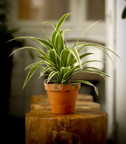 Cây mẫu tử,cỏ mẫu tử,mẫu tử,cay mau tu,co mau tu,cây làm sạch không khí,Chlorophytum elatum R. Br,Cây mẫu tử