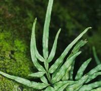 Cỏ seo gà,phượng vĩ thảo,hùng kê thảo,kê cước thảo,kim kê vĩ,Pteris multifida Poir,Pteridaceae,cây thuốc nam,Cỏ Seo Gà