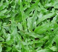Cỏ lá gừng,co la gung,cỏ lá tre,co la tre,cây cỏ,thảm cỏ,Axonopus compressus,kỹ thuật trồng cỏ lá gừng,chăm sóc cỏ lá gừng,Cỏ lá gừng - Cỏ lá tre