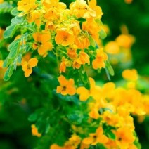 Hoa điệp vàng