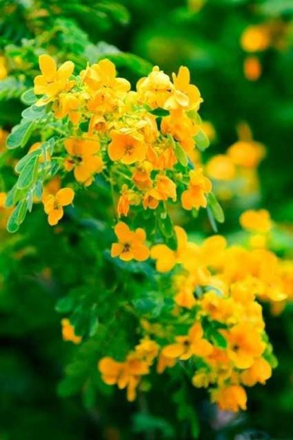 hoa điệp vàng,cây điệp vàng,cây điệp,hoa điệp,hoa diep vang,nắng ấm sân trường,con đường đến trường,hoa học trò,tuổi học trò,Caesalpinia ferrea,họ Đậu,Fabaceae,Hoa điệp vàng