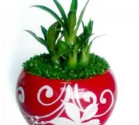 Cây phát tài may mắn,củ phát tài,cây phát tài,cây may mắn,cây phong thủy,cây quà tặng,Phát tài may mắn