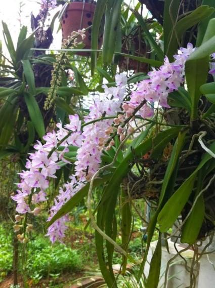 lan đuôi cáo,lan duoi cao,lan hồng ngọc,lan cáo bắc,Aerides multiflora,Aerides Rosea,họ giáng hương,Aerides,hoa lan,Hoa lan đuôi cáo