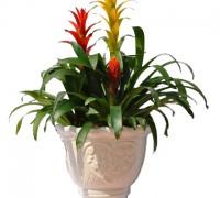 phong lộc hoa,hoa phong lộc,cây nội thất,cây để bàn,cây phong thủy,cây ngày Tết,Phong lộc hoa