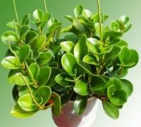 Thảo xanh,cây thảo xanh,cây nội thất,cây để bàn,Thảo Xanh