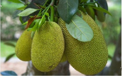 Mít,cây mít,quả mít,mít tố nữ,cây ăn quả,cây ngoại thất,Artocarpus heterophyllus,họ Dâu tằm,Moraceae,Mít