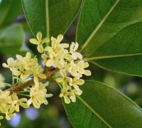 Hoa Mộc,cây mộc,cây hoa mộc,cay hoa moc,mộc tê,quế hoa,hoa quế,Osmanthus fragrans,cây làm thuốc,cây thuốc nam,cây trong y học,Hoa Mộc