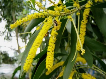 Keo lá tràm,tràm bông vàng,cây keo,cây ngoại thất,cây bóng mát,Acacia auriculiformis,họ Đậu,Fabaceae,Keo lá tràm - tràm bông vàng