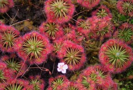 Gọng Vó,cây gọng vó,cay gong vo,cây bắt mồi,cây thủy sinh,họ gọng vó,họ bắt ruồi,cây bắt ruồi,Droseraceae,Aldrovandaceae Nakai,Dionaeaceae Rafinesque,Cây Gọng Vó