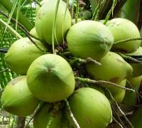Cây dừa,dừa,cay dua,dừa nước,cây dừa Bến Tre,hàng dừa bãi biển,Cocos nucifera,họ Cau,Arecaceae,cây ngoại thất,cây ăn quả,cây y học,Cây Dừa