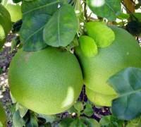 Cây bưởi,cay buoi,quả bưởi,cây bòng,bưởi hồ lô,bưởi năm roi,bưởi 5 roi,bưởi Đoan Hùng,bưởi Tân Triều - Biên Hòa,bưởi da xanh - Bến Tre,sự tích bưởi năm roi,Citrus maxima,Citrus grandis L,Pomelo,Citrus paradisi,Cây bưởi - cây bòng (bưởi hồ lô)