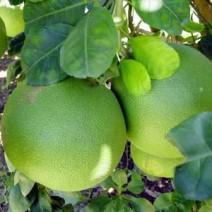 Cây bưởi - cây bòng (bưởi hồ lô)