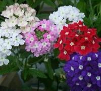Hoa diễm châu,cây diễm châu,diễm châu,hoa diem chau,cay diem chau,cây bụi,cây thảm cỏ,Pentas lanceolata,họ cà phê,Rubiaceae,cây hoa,Diễm Châu