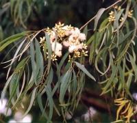 Bạch đàn,cây bạch đàn,bạch đàn trắng,bạch đàn cầu vồng,bạch đàn liễu,bạch đàn xanh,bạch đàn chanh,khuynh diệp,cây lấy gỗ,cây lấy tinh dầu,tinh dầu bạch đàn,Eucalyptus,Myrtus,Myrtaceae,Eucalyptus camaldulensis,Bạch đàn