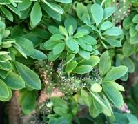 Xương rồng ngọc lân,xương rồng rào,xương rồng ta,xương rồng,cay xuong rong,Euphorbia neriifolia,họ Đại kích,họ Thầu dầu,Euphorbiaceae,Xương rồng ngọc lân