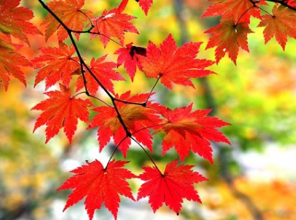 Cây phong,phong,cay phong,cây gỗ thích,Acer,Aceraceae,Hippocastanaceae,chi phong,họ phong,họ dẻ ngựa,cây bảy lá,lộc đồng,họ bồ hòn,Sapindaceae,Sapindaceae,Cây Phong