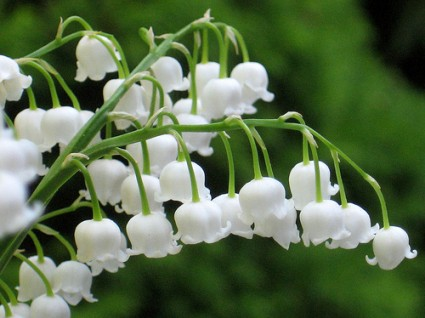 Hoa linh lan,linh lan,lan chuông,hoa lan chuông,Convallaria majalis,Convallaria,Ruscaceae,Our Lady's tears,truyền thuyết hoa linh lan,lily of the valley,May Lily,Hoa Linh Lan