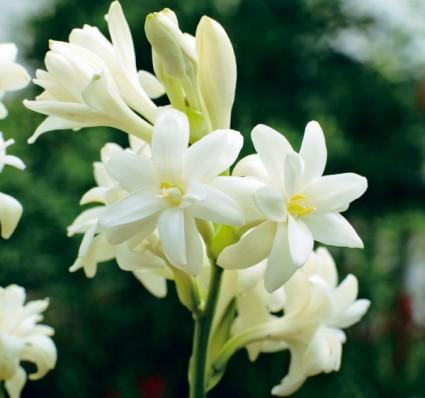 Hoa huệ,hoa hue,huệ,dạ lai hương,vũ lai hương,huệ ta,huệ tây,huệ đơn,huệ xẻ,huệ kép,huệ tứ diện,huệ trâu,thiếu nữ bên hoa huệ,huệ đỏ,Polianthes tuberosa,Lilium longiflorum,cây hoa,họ thùa,Agavaceae,món ăn làm từ hoa huệ,gỏi hoa huệ,hoa huệ xào thịt bò,Hoa huệ