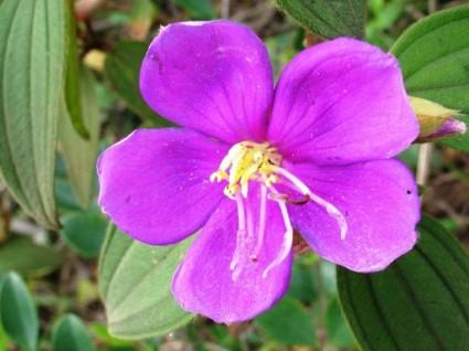 Hoa mua,hoa tím,hoa mua Đà Lạt,đồi hoa mua Đà Lạt,các loài hoa mua,cây hoa,cây bụi,Melastoma,Melastomataceae,Hoa Mua