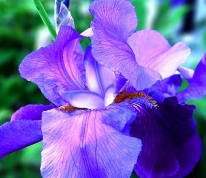 Hoa diên vĩ,hoa diên vỹ,hoa iris,iris,cây hoa,ý nghĩa hoa diên vĩ,Hoa Diên Vĩ