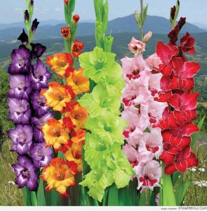 Hoa lay ơn,lay ơn,lay dơn,lay đơn,hoa dơn,kiếm lan,Gladiolus,ý nghĩa hoa lay ơn,sự tích hoa lay ơn,Hoa Lay Ơn