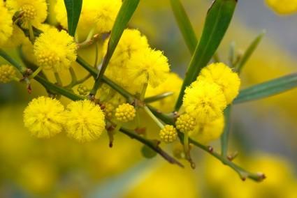 Hoa mimosa,mimosa,ý nghĩa hoa mimosa,truyền thuyết hoa mimosa,mimosa Đà Lạt,Acacia Podalyriaefolia Cunn Mimosaceae,keo lá tròn,Hoa Mimosa