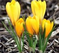Hoa nghệ tây,nghệ tây,hoa nghe tay,hoa đẹp,Crocus,Crocus sativus,họ Diên Vĩ,truyền thuyết hoa nghệ tây,Hoa Nghệ Tây