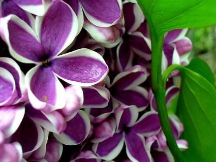 Hoa tử đinh hương,tử đinh hương,hoa tu dinh huong,Syringa,họ ô liu,ý nghĩa hoa tử đinh hương,sự tích hoa tử đinh hương,hoa tử đinh hương Ba Tư,Hoa tử đinh hương