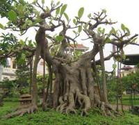Cây đa,cay da,cây đa đa,dây hải sơn,cây dong,Ficus bengalensis,Sacred Fig,họ dâu tằm,Moraceae,cây bonsai,cây cổ thụ,cây đa 13 gốc ở Hải Phòng,cây đa Tân Trào,Cây Đa