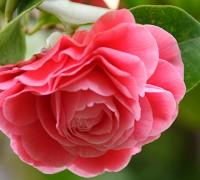 Hoa trà,cây hoa trà,bạch trà,hồng trà,hoa hồng Nhật Bản,ý nghĩa hoa trà,hoa trà trắng,hoa trà hồng,hoa trà đỏ,hoa trà kép,hoa trà my,hoa trà mi,Camellia,Camellia japonica,cây chè,họ chè,Theaceae,sự tích hoa trà my,ý nghĩa hoa trà my,Camellia sinensis,chè Shan Tuyết,trà Shan Tuyết,Hoa trà